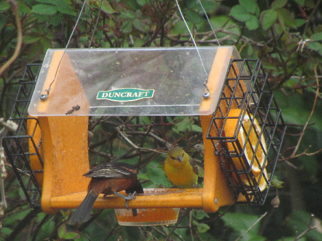 Orchard Orioles1 5:10:14