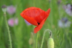 Coquelicot au vent ~ Poppy in the wind