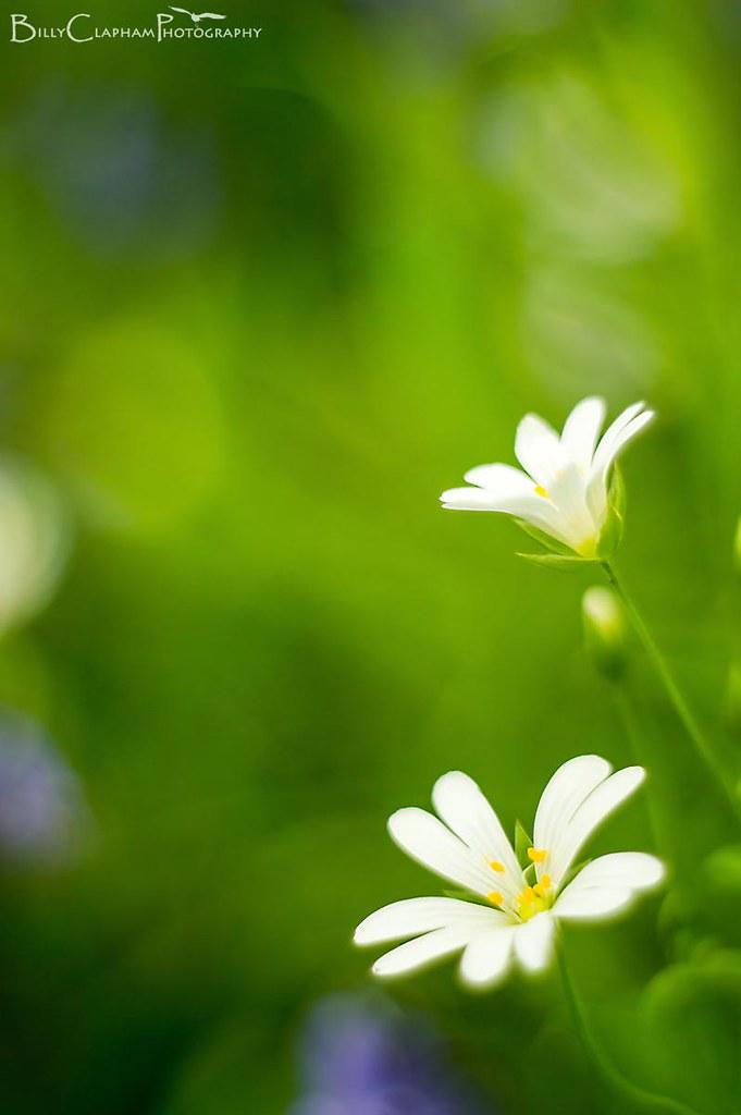 pentacon flower macro