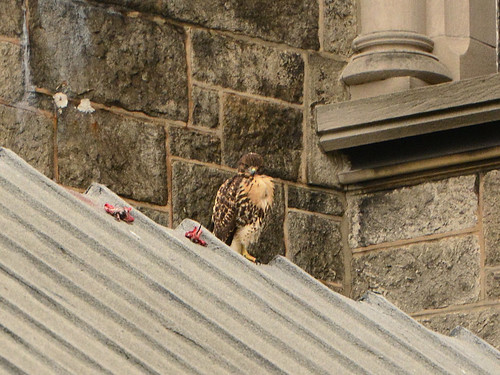 Cathedral Hawk Fledgling #2 (2277)