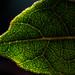 Leaf by Jnarin