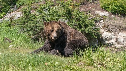 Bear on Grouse Mountain
