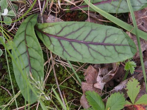 Rattlesnake weed, Hieracium venosum_P6280543