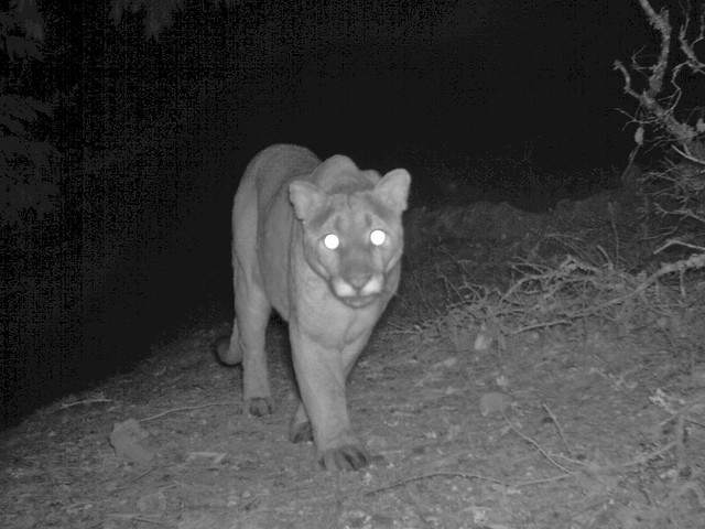 big male lion stalking cam