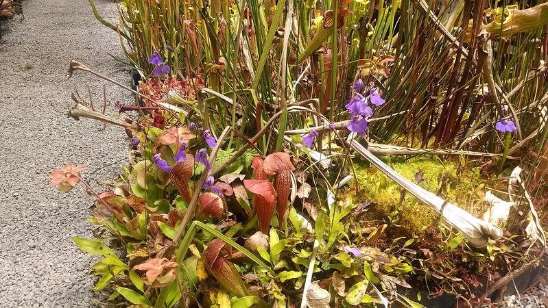 Utricularia longifolia in bloom at California Carnivores.