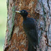Black Woodpecker (Mati Kose)