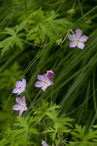 Geranium from Ryan