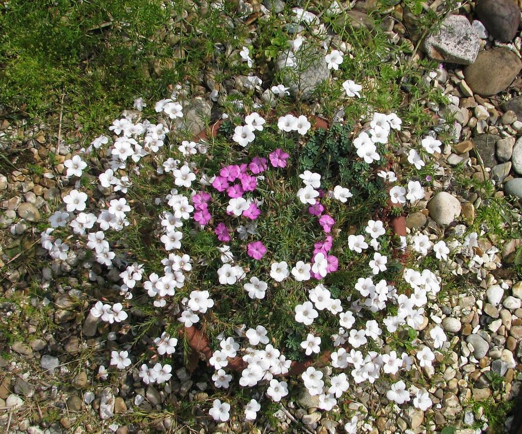 Linum suffruticosum salsoloides