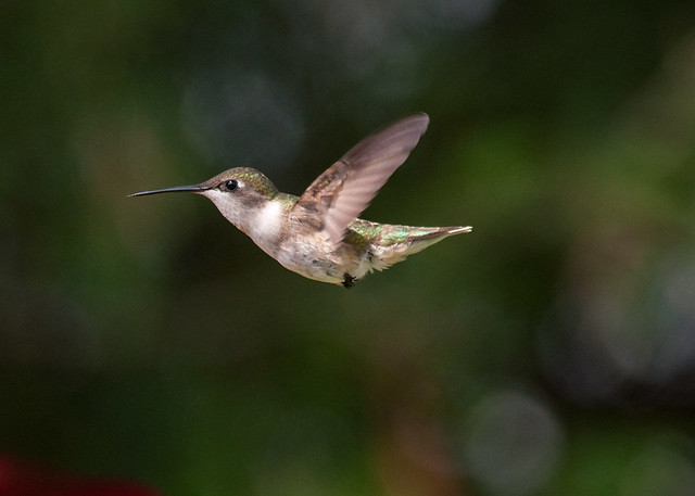 Ruby-throated Hummingbird(female)