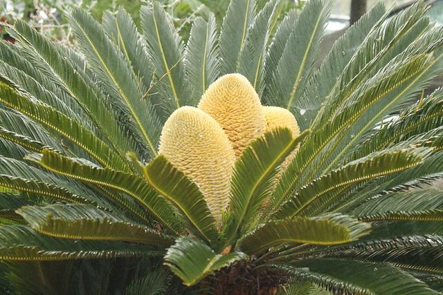 detalle tres flores - cycas revoluta #naturaleza