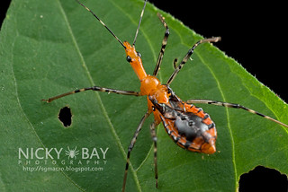 Assassin Bug (Reduviidae) - DSC_9460