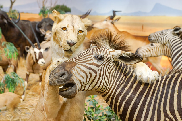 Animals, Lion, Zebra, Cabela's, Stuffed, Display, Museum