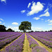Mayfield Lavender by Mark (marbo)