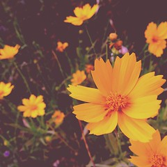 calendula(0.0), blossom(0.0), macro photography(0.0), autumn(0.0), annual plant(1.0), flower(1.0), garden cosmos(1.0), yellow(1.0), plant(1.0), wildflower(1.0), flora(1.0), close-up(1.0), cosmos(1.0), petal(1.0),