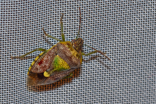 <p><i>Banasa sordida</i>, Pentatomidae<br /> Simon Fraser University, Burnaby, British Columbia, Canada<br /> Nikon D5100, 105 mm f/2.8<br /> July 24, 2013</p>