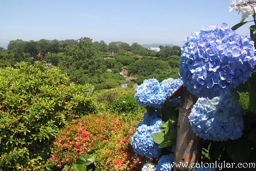 Hydrangea, Nokonoshima Island Park, Fukuoka