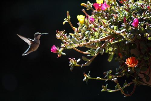[136/365] Hummingbird Central