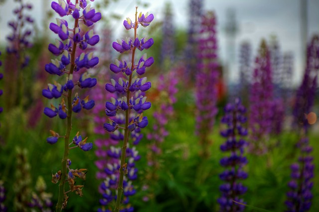 Cabot Trail Wild Flowers - Lupins 2