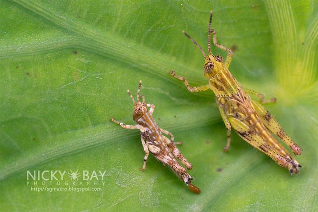 Grasshoppers (Caelifera) - DSC_3556