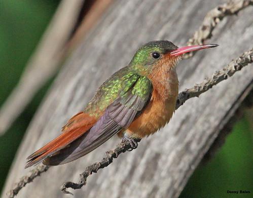CINNAMON HUMMINGBIRD 5720