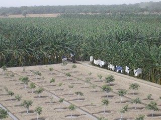 Modern mango and banana farm near Mirkuphas, Sindh Mar 06