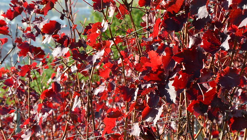 vinyard red leaves by Ginas Pics