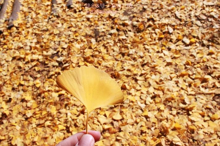 南怡島抓住秋天的尾巴楓紅.銀杏正美好浪漫