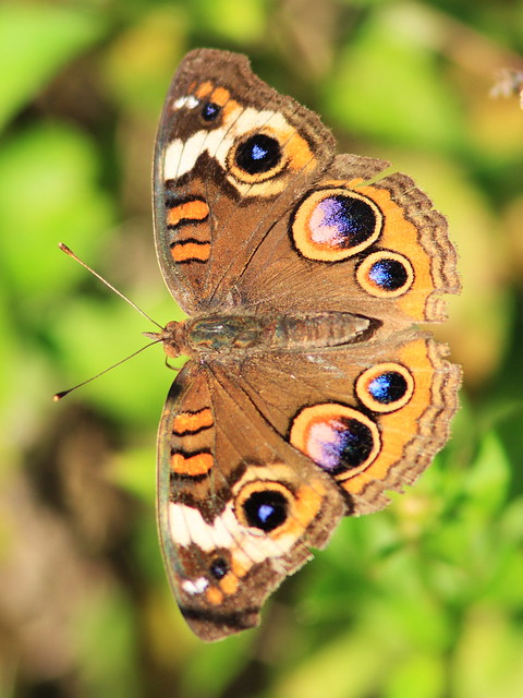 Common Buckeye 2-20131203