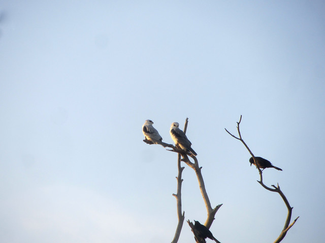 the white-tailed kite gets a partner