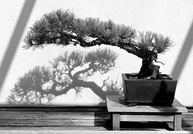 Autumn Bonsai, photograph by Surinder Singh, 2013. BBG class: The Magic Hour: Photography at Dusk.