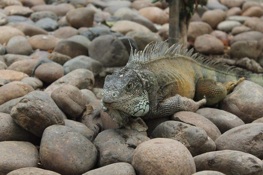 Iguana is resting