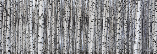 Birch trunks in a row