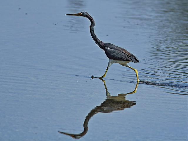 Tricolored Heron actively foraging 20140125