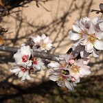 In the neighborhood: Apricot Blossoms - 7