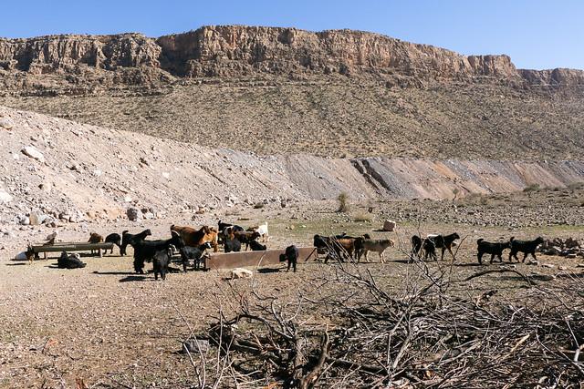 Animals walking in grazing land, Firuzabad, Iran フィールーズ・アーバード、放牧される動物たち