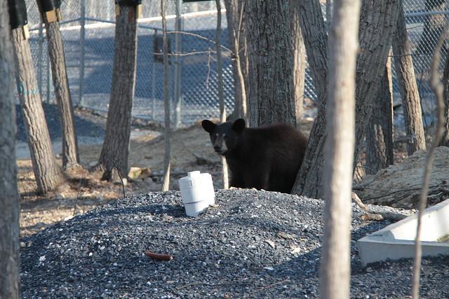 Black Bear Release: April 23, 2014