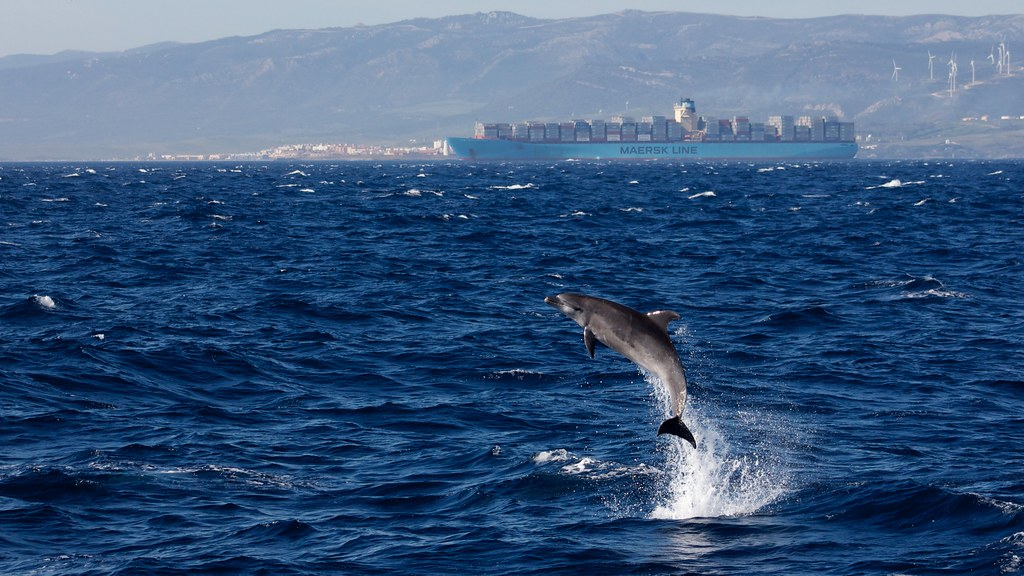 Delfin Mular / Common bottlenose dolphin, Strait of Gibraltar ( Explore )