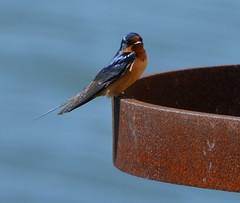 Barn Swallow at Alameda Point