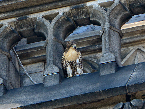 Cathedral Hawk Fledgling - 2874