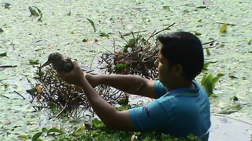 Chick rescue from pond