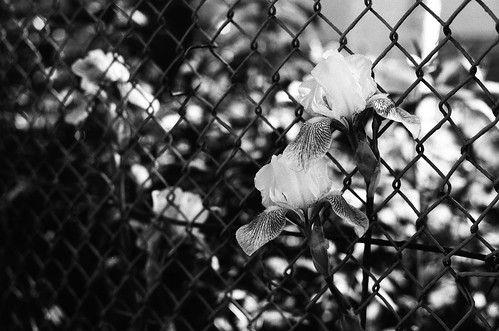Flower and fence I