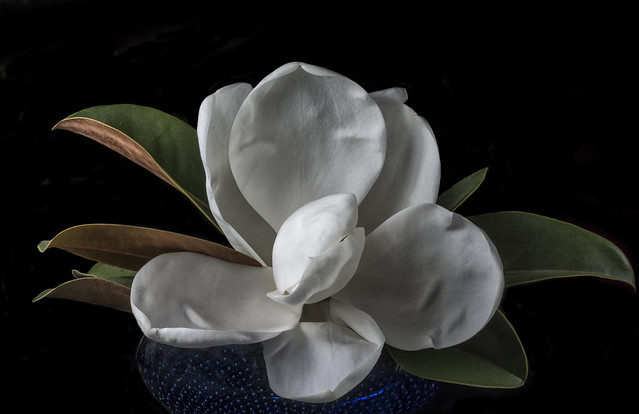 Magnolia Blossom In A Blue Bowl