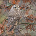 Short-eared Owl (image 4 of 4) by Full Moon Images