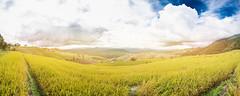Panorama of terrest Rice field, Chiangmai Thailand