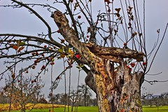 last apples on broken tree