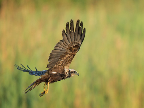 Female Marsh Harrier landing