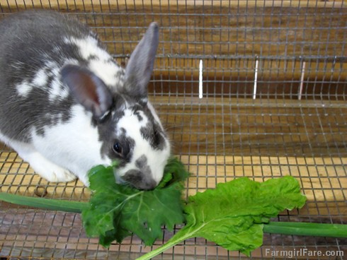 (30-8) The month of rabbit sitting is going well and Penelope loves her fresh garden greens - FarmgirlFare.com