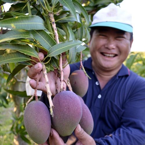 洪輝祥設立這個綠色基地,要幫助更多的農友,加入綠農行列,種植無毒友善的農產。圖為枋山愛文芒果農友郭金龍。