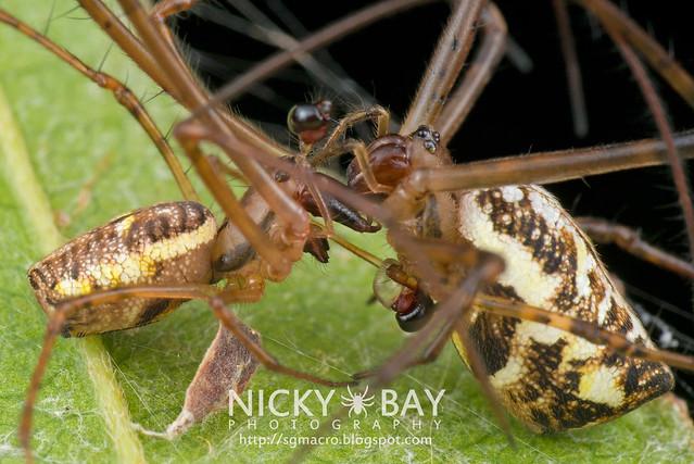 Big-Jawed Spiders (Tetragnathidae) - DSC_7239