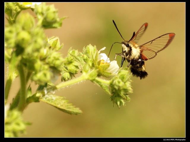 Clearwing Hummingbird Moth (Hemaris thysbe) visiting Potentilla arguta